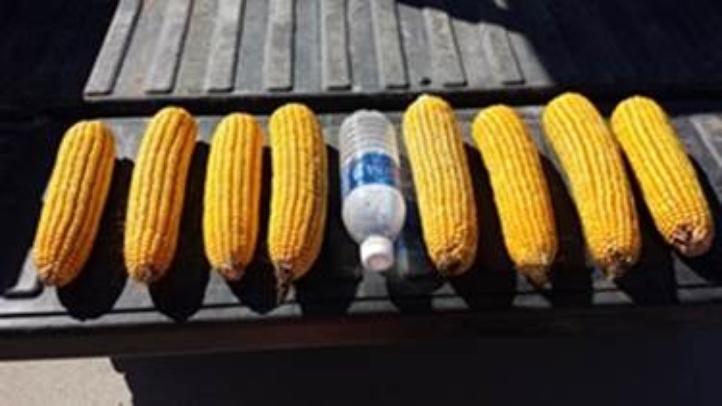 Corn+picture